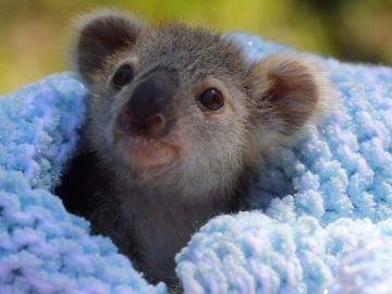 Koala rescatado