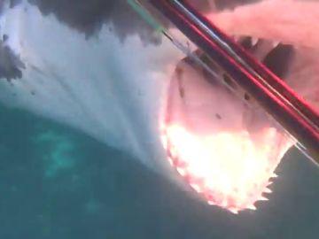 El terrorífico ataque de un gran tiburón blanco al buceador Joe Petrovich