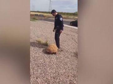 Encuentran una tortuga africana de más de 25 kilos en una rotonda de Ciudad Real