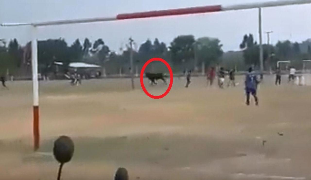 Toro irrumpe un partido de fútbol