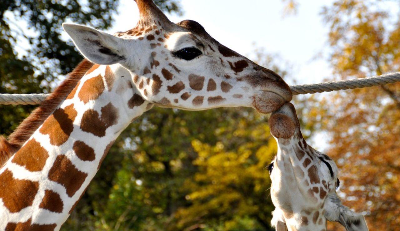 Beso entre jirafas (archivo)
