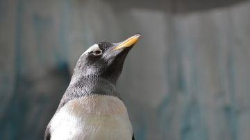 Pingüino (archivo)