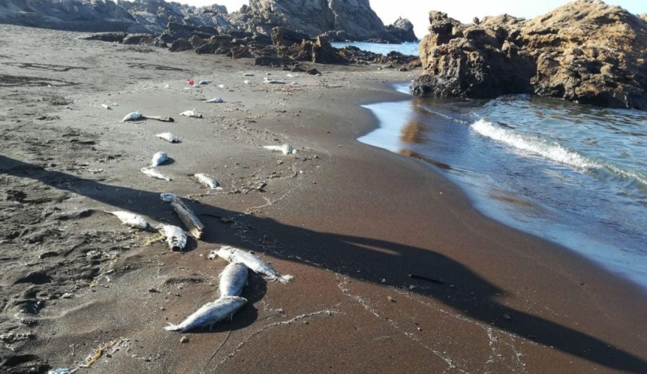 Lubinas muertas en la costa de Portmán, en Murcia