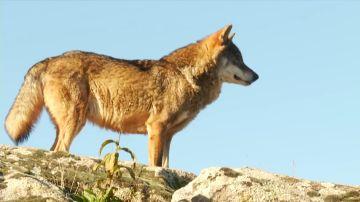 Polémica por la decisión de la Junta de Castilla y León: autoriza matar 339 lobos de los 2.500 que hay en toda España