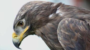 Águila (archivo)