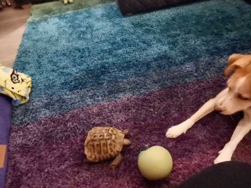 Tortuga y perro jugando