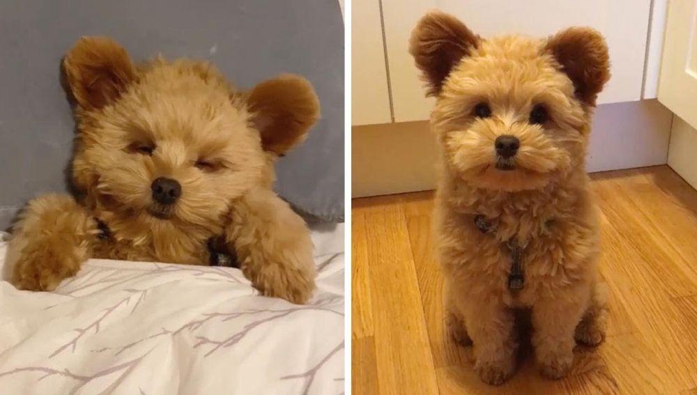 Perro parece un oso de peluche
