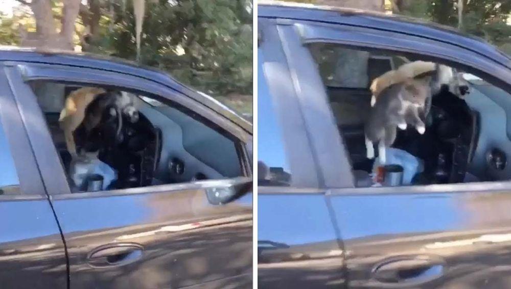 Gatos corriendo dentro de un coche