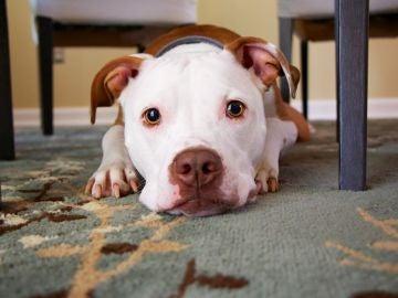 Un perro tumbado sobre la alfombra de su casa