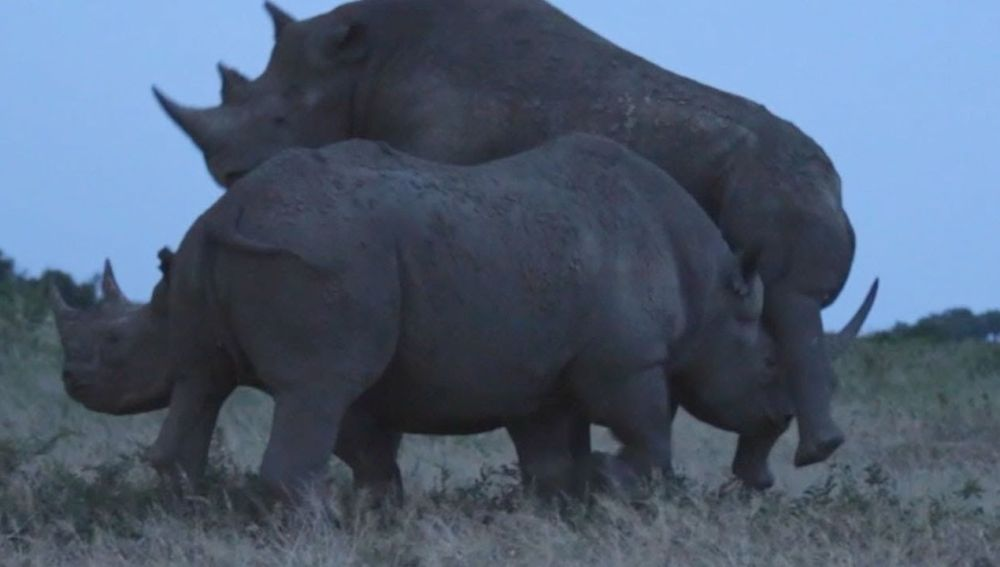 Rinocerontes peleando