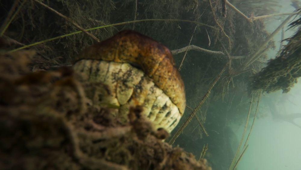 Anaconda en un río de Brasil