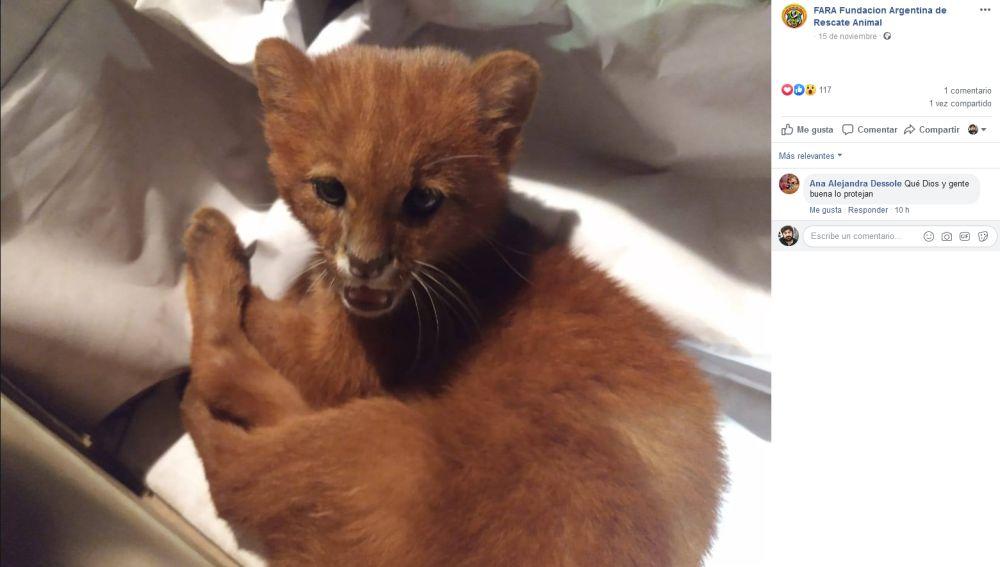 Felino rescatado en Argentina