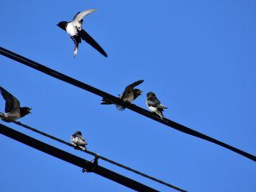 Pájaros en un tendido eléctrico