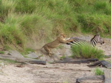 Leona atacando a una cebra