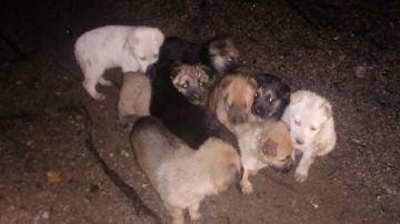 Los nueve cachorros tras ser encontrados en el monte.