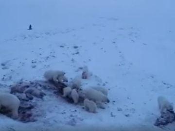 """Unos 60 osos polares se quedan """"atrapados"""" cerca de un pueblo ártico ruso"""