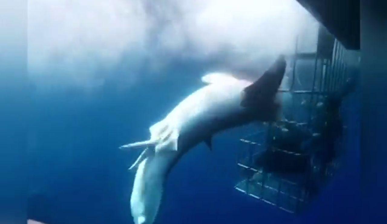 Muere un tiburón enganchado en una jaula de observación ante la pasividad de los turistas