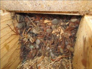 Arañas gigantes en un cajón