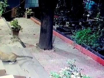 Un leopardo ataca a un perro