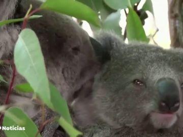 Los incendios en Australia ponen en serio peligro de extinción a los koalas