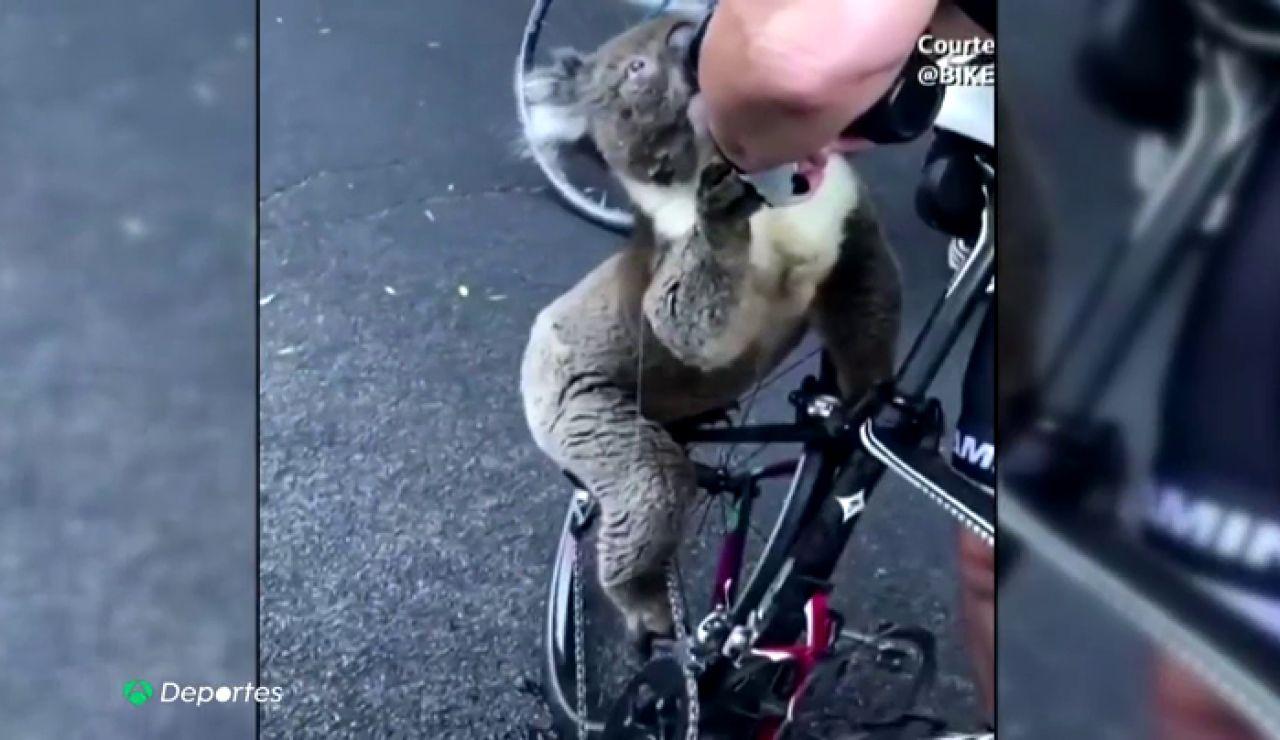 KoalaDeshidratado