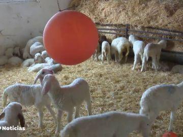 Triunfa el método de un granjero para que sus animales no se enfermen a menudo