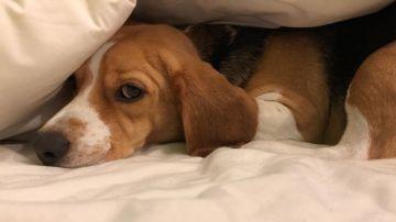 Un perro de la raza beagle asustado