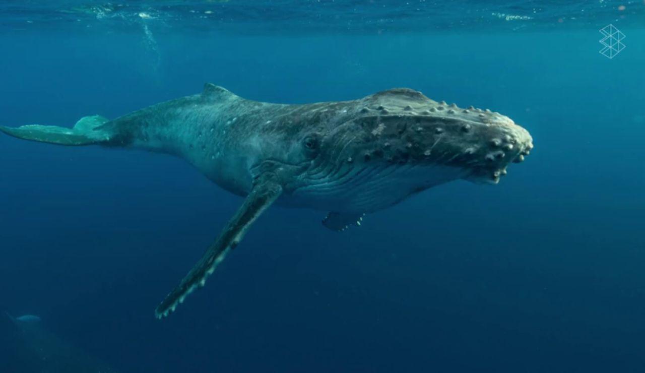 ¿Conocías la importancia de las heces de las ballenas?