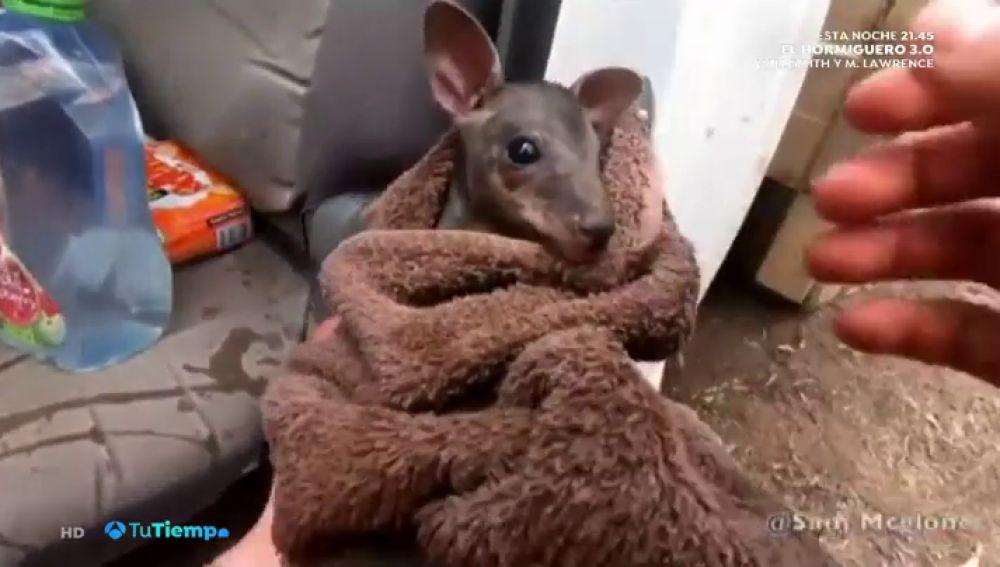 Espectaculares imágenes del rescate entre llamas de un canguro en los incendios que asolan Australia