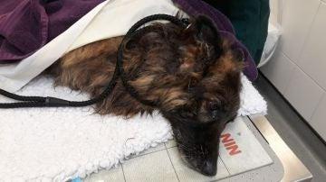 Perro pastor belga lanzado al río Trent vivo atado a una piedra