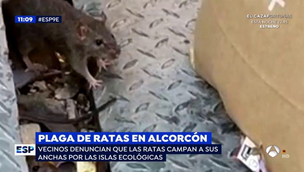 Ratas gigantes en Alcorcón.
