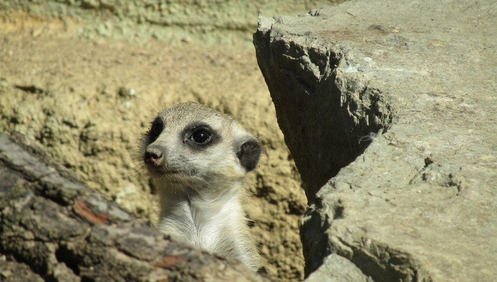 Un suricato entre las rocas