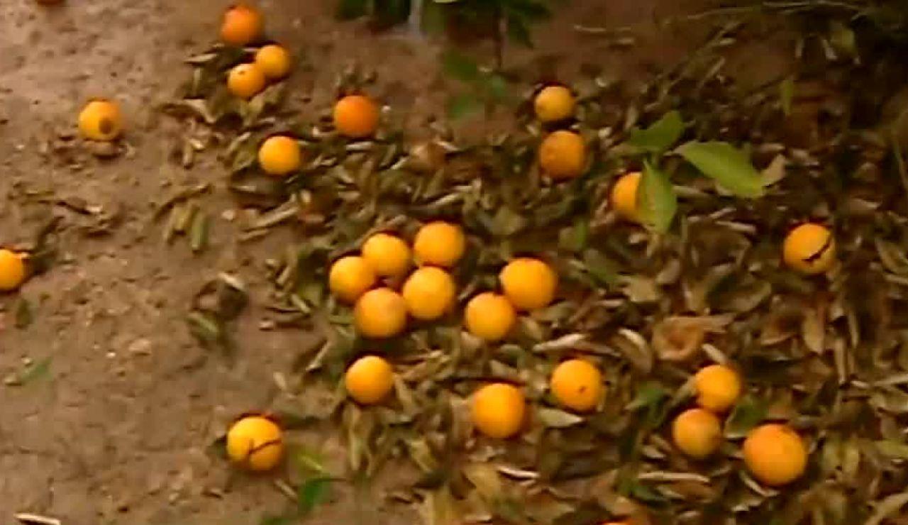 El temporal destroza las cosechas de naranjas en el litoral valenciano