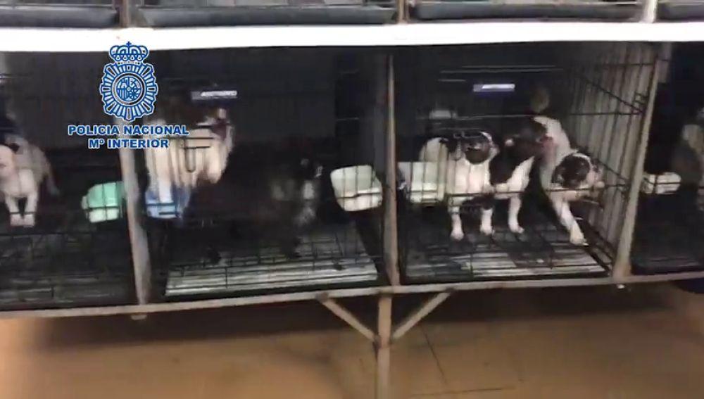 Desmantelados en Madrid dos criaderos ilegales con 270 chihuahuas