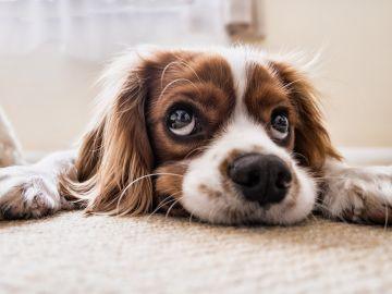 Un perrito mirando a la cámara (Archivo)
