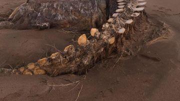 Aparece un esqueleto gigante en Escocia
