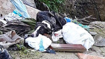 Galgo abandonado en un montón de basura