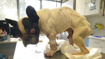 Bulldog francés abandonado en un contenedor de basura