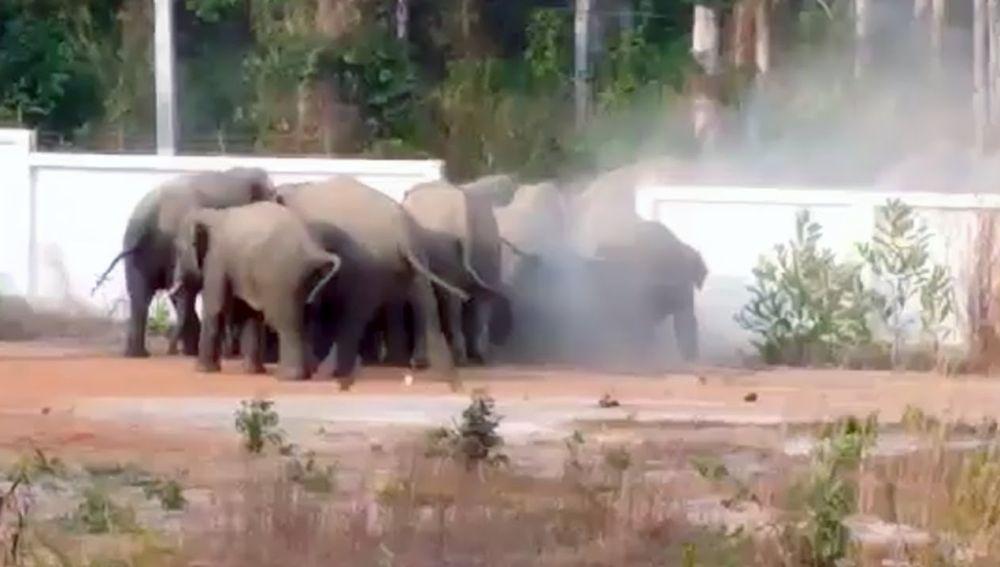 Elefantes salvajes