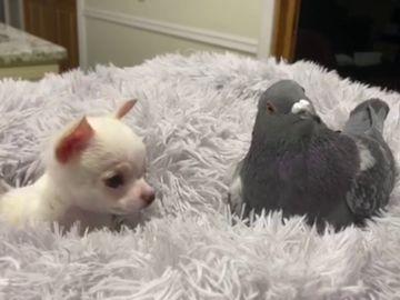 La paloma Herman y el chihuahua Lundy