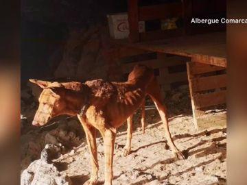 El infierno de cinco perros en Tenerifes: desnutridos, llenos de garrapatas y sin comida ni bebida
