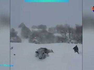 Curiosas imágenes de una gran nevada en Turquía que dificultaba el paso a unas vacas