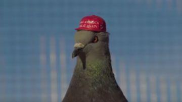 Paloma con la gorra de Trump