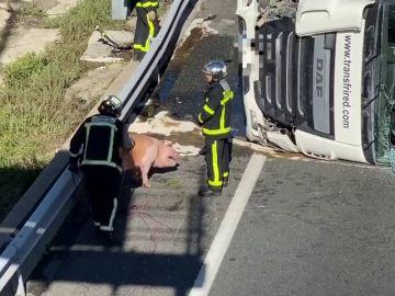 Un camión lleno de cerdos choca contra un guardarraíl de la A-6 y provoca cinco kilómetros de retención en Madrid
