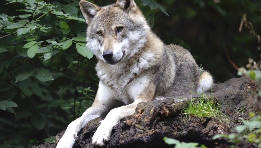 Un ejemplar de lobo posado sobre el suelo