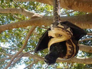 Serpiente contra murciélago