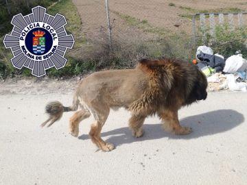 Perro que parece un león en Murcia