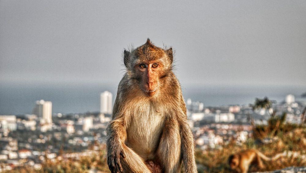 Mono tailandés (archivo)