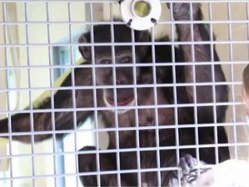 Un chimpancé en el refugio de Washington