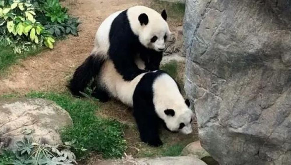 Dos pandas gigantes apareándose
